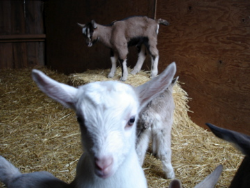 Baby Goats are Playful