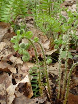 Fiddleheads open into ferns