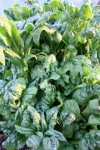 spinach bolting