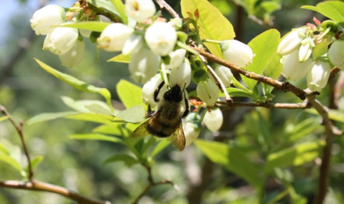Bumble Bees Love the Blossoms