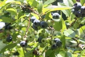 bushes blue