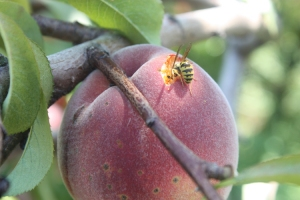 bee on peach