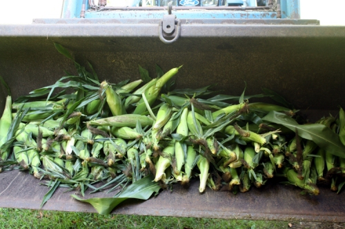 corn in loader