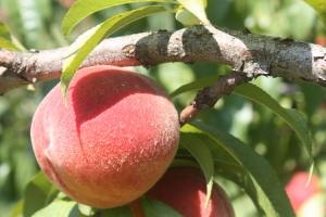 peach leaf shadow