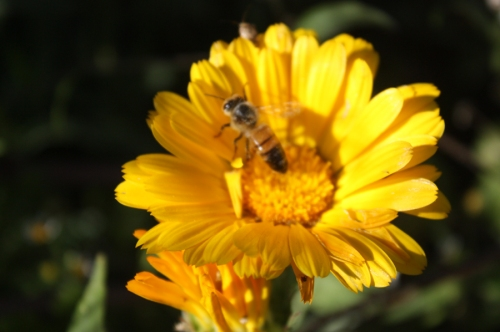 bee on calendula