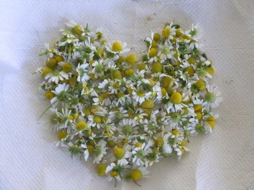 chamomile heart